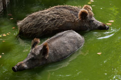 Wild boar Sus scrofa. Also known as the wild swine or Eurasian wild pig stock images