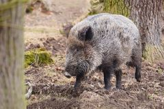 The wild boar Sus scrofa, also known as the wild swine, Eurasian wild pig, or simply wild pig royalty free stock photo