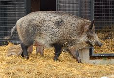 Wild boar Sus scrofa, also known as wild swine, Eurasian wild pig, or simply wild pig, with piglets. In Finland Stock Image