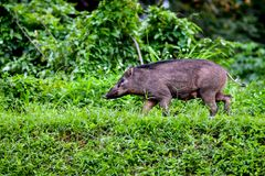 The wild boar Sus scrofa, also known as the wild swine, Eurasian wild pig or simply wild pig. `Sow`, the traditional name for a female wild boar, again comes Royalty Free Stock Images
