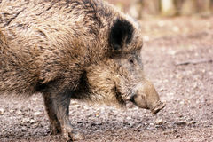 Wild boar (Sus scrofa) close-up Royalty Free Stock Image