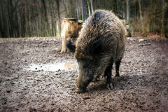 Wild boar (Sus scrofa) close-up Stock Images