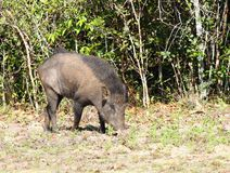 Wild boar, Sus scrofa cristalus. Boar rooting in the soil, national park Wilpattu, Sri Lanka Royalty Free Stock Image