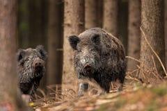 Wild boar, sus scrofa, Czech republic. Forest, boar, fur, trophy, hunt, body, black, wild, wildlife, animal Stock Images