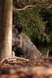 Wild boar, sus scrofa, Czech republic. Forest, boar, fur, trophy, hunt, body, black, wild, wildlife, animal Stock Image