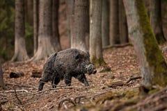 Wild boar, sus scrofa, Czech republic. Forest, boar, fur, trophy, hunt, body, black, wild, wildlife, animal Stock Photo