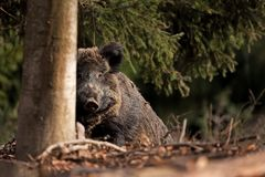wild boar, sus scrofa, Czech republic Royalty Free Stock Images