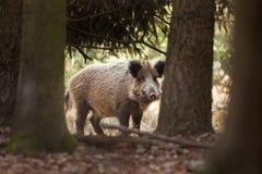 wild boar, sus scrofa, Czech republic Stock Photos