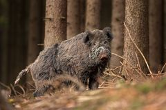 Wild boar, sus scrofa, Czech republic. Forest, boar, fur, trophy, hunt, body, black, wild, wildlife, animal Stock Photography