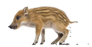 Wild boar, Sus scrofa, defecating, isolated on white Stock Photo