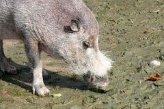 Wild boar (Sus scrofa) Royalty Free Stock Photography