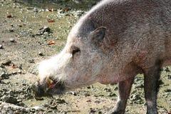 Wild boar   (Sus scrofa) Stock Photography