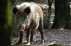 In the forest. Female wild boar (Sus scrofa) Stock Image