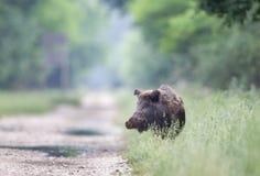 Wild boar (Sus Scrofa Ferus). Close up of wild boar walking in high grass Stock Images