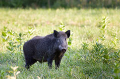 Wild boar (sus) Stock Images
