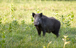 Wild boar (sus) Stock Image