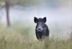 Wild boar in fog. Wild boar sus scrofa ferus walking in forest on foggy morning and looking at camera. Wildlife in natural habitat stock photos