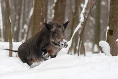 Wild boar in winter forest Royalty Free Stock Photo