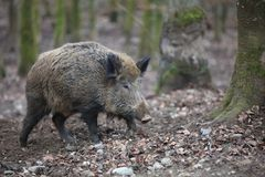 Wild Boar in the Forest. Germany Stock Photos