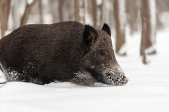 Wild boar in winter forest Royalty Free Stock Photography
