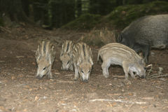 Wild boar, Sus scrofa Royalty Free Stock Photography