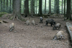 Wild boar, Sus scrofa Stock Image