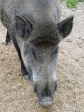 Wild boar (Sus scrofa) head closeup stock photography