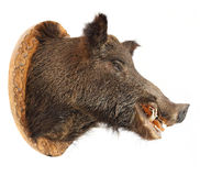 The Wild boar (Sus scrofa). Royalty Free Stock Image