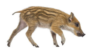 Wild boar, Sus scrofa, 2 months old Stock Photo
