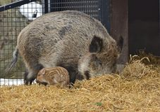 Wild boar Sus scrofa  with piglet. Wild boar Sus scrofa, also known as wild swine, Eurasian wild pig, or simply wild pig, with piglet Stock Images