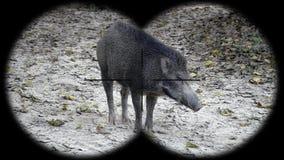 Wild Boar Sus scrofa Seen through Binoculars. Watching Animals at Wildlife Safari. Shot with a Sony a6300 fps 29,97 4k stock video