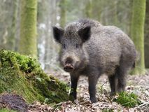 Wild boar, Sus scrofa. Single animal, Forest of Dean, Gloucestershire, February 2018 Stock Image