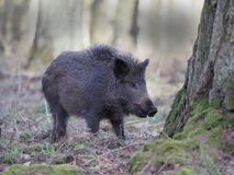 Wild boar, Sus scrofa. Single animal, Forest of Dean, Gloucestershire, February 2018 Royalty Free Stock Images