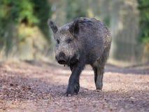 Wild boar, Sus scrofa. Single animal, Forest of Dean, Gloucestershire, February 2018 Stock Photos