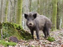 Wild boar, Sus scrofa. Single animal, Forest of Dean, Gloucestershire, February 2018 Stock Photography