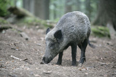 Wild boar, Sus scrofa Stock Photos