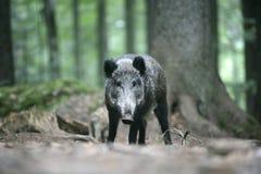 Wild boar, Sus scrofa Stock Images