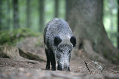 Wild boar, Sus scrofa Royalty Free Stock Photos