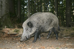 Wild boar, Sus scrofa Stock Photo