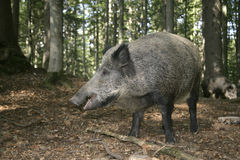 Wild boar, Sus scrofa Stock Photography