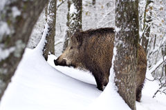Wild boar (Sus scrofa) in the snow. A big boar walking in the immaculate, intact snow. Rocca De' Giorgi, Oltrepo Pavese, Italy Stock Photos