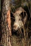 Wild boar, sus scrofa, spain royalty free stock photo