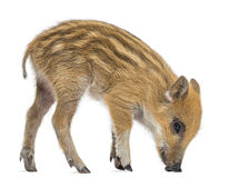 Wild boar, Sus scrofa, standing,  looking down, isolated on white Royalty Free Stock Image