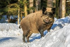 Wild boar standing in the snow in winter,. Wild boar & x28;Sus scrofa& x29; standing in the snow in winter, Germany, Europe Royalty Free Stock Photography