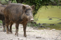 Wild boar (Sus scrofa) standing and watching Stock Photography