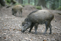 Wild boar, Sus scrofa Royalty Free Stock Images