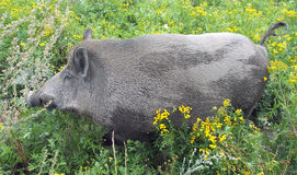 Wild boar (Sus scrofa) in vegetation Royalty Free Stock Photography