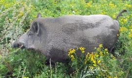 Wild boar (Sus scrofa) in vegetation royalty free stock photography