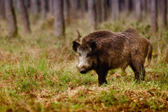 Wild boar. (sus scrofa) walking in forest Stock Photo
