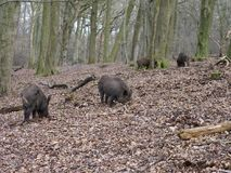 Wild boar, Sus scrofa Royalty Free Stock Photo